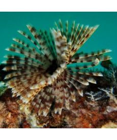 Sabellastarte sp Soft Tube Worm