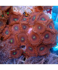 People eaters polyp frag