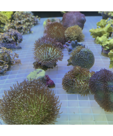 Softcoral spp Mix S-size