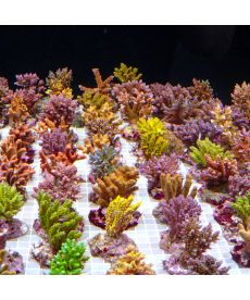 Acropora sp Green Yellow S Size