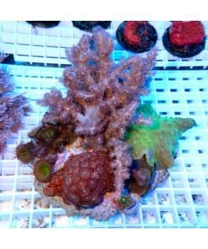 Coral Garden On Rock Mix Corals L size Indonesia