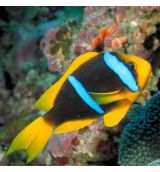 Amphiprion Chrysopterus (M)