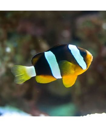 Amphiprion Clarckii