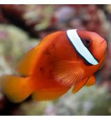 Amphiprion Frenatus M