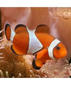Amphiprion Ocellaris (M)