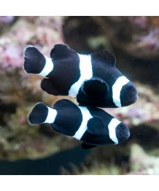 Amphiprion Occelaris Black