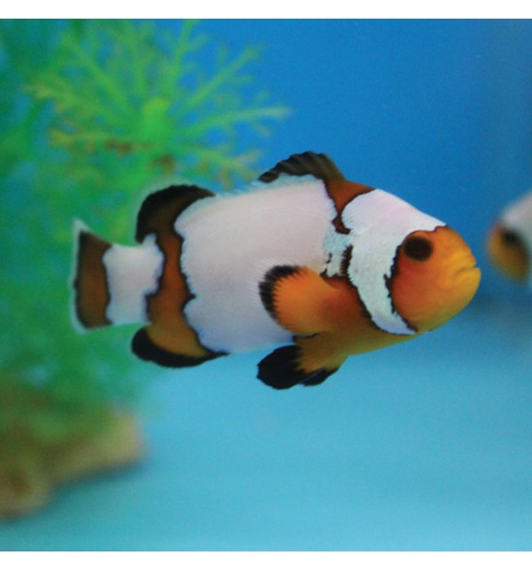 amphiprion occelaris Snowflake