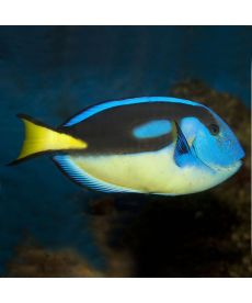 Paracanthurus Hepatus Yellow belly (+/- 1-4cm)