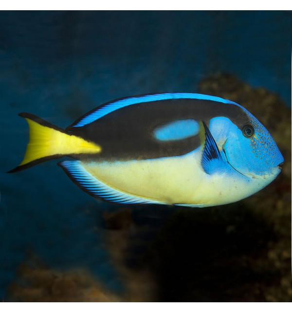Paracanthurus Hepatus S SM Yellowbelly