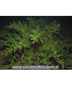 Actinodendron Plumosum Green  XL-size