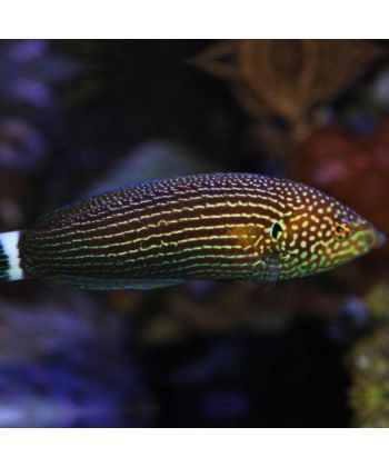 anampses lineatus M