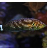 Anampses Lineatus (M)