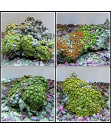 Zoanthus sp assorted Vietnam XXL size