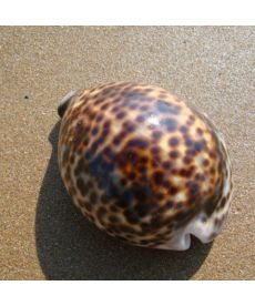 Cypraea sp Large