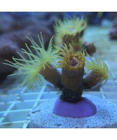 Dendrophyllia orange frag S size